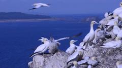Gannets at  Bass Rock (Morus bassanus), Scotland, UK, Stock Footage