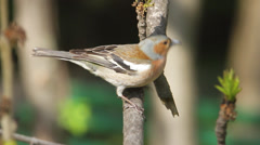 chaffinch male singing in natural habitat / Fringilla coelebs - stock footage
