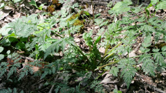 Chervil, wild plant in a forest, spice for soups Stock Footage