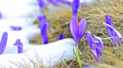 Spring shoot of saffron blossoms on white winter melting snow. Stock Footage