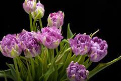 beautiful   purple tulips crispa isolated over black - stock photo