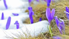 Group of crocus buds and fresh grass on spring plain Stock Footage