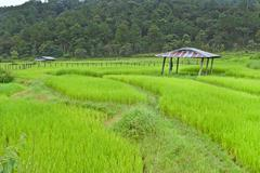 rice field with shack - stock photo