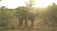 SLOW MOTION: Elephant at sunset - stock footage