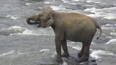 Elephant standing in a river, drinking water Stock Footage