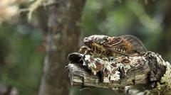 Golden Twanger Cicada Stock Footage
