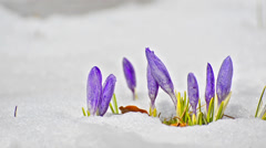 Saffron crocus first spring flower closeup between melting snow. white blooms Stock Footage