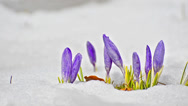 Stock Video Footage of saffron crocus first spring flower closeup between melting snow. white blooms