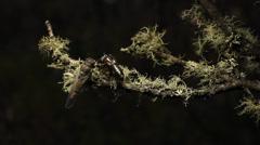 Cicada- Golden Twanger, Diemeniana euronotiana Stock Footage