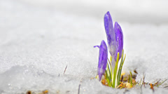Group of blossom and bud crocus grown on a white snowed field,beautiful sprin Stock Footage