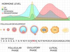 Female menstrual cycle chart Stock Illustration