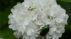 Bug quietly sitting on white flower wind swings inflorescence Stock Footage