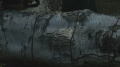 Arborist lumberjack cuts fallen tree trunk into rounds 02 Stock Footage