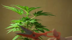 Cannabis harvesting Stock Footage