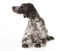 German shorthaired pointer female Stock Photos