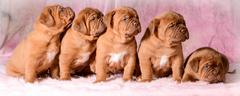 Litter of puppies Stock Photos