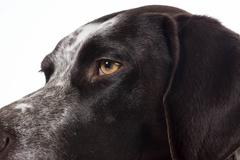 German shorthaired pointer details Stock Photos