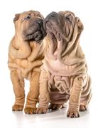 two chinese shar pei puppies - stock photo