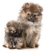 pomeranian puppies - stock photo