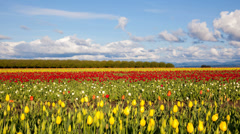 Wooden Shoe Tulip Farm Spring Season in Woodburn OR Clouds and Sky Time Lapse Stock Footage