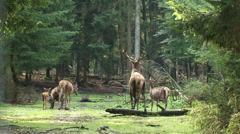 European Red deer (cervus elaphus) stag with harem in forest, Rutting season Stock Footage