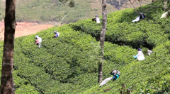 Tea pluckers picking tea on plantation Stock Footage