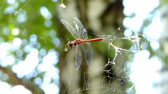 Dragonfly caught in spider web - stock footage
