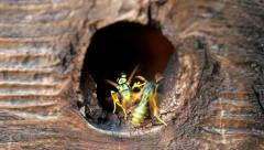 Hornets Nest. Insects. Stock Footage