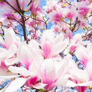 Magnolia tree blossom. Stock Photos