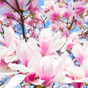 Magnolia tree blossom. - stock photo