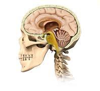 Human skull cutaway, with all brain details, mid-sagittal side view. Stock Illustration