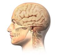male human head with skull and brain in ghost effect, side view. - stock illustration