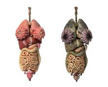 Photorealistic 3d rendering, of female full internal organs, front view. Stock Illustration