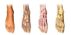human foot anatomy cutaway representation. - stock illustration