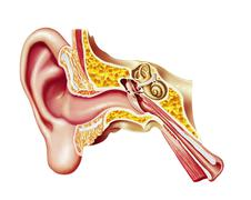 Human ear cutaway diagram. Stock Illustration