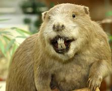 Big beaver with huge incisors Stock Photos