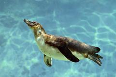 Humboldt penguin under water Stock Photos