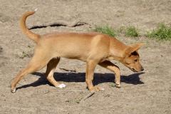 Dingo walking - stock photo