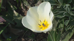 Bloomed Tulip, Nature, Sky, Beautiful, Trees, Macro Stock Footage