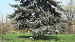 Picera Purgerus Tree, Nature, Sky, Beautiful, Trees, Grass Tilt - stock footage