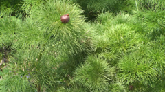 Steppe Peony, Woods, Nature, Green, Eco, Close Up Stock Footage