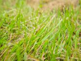 Stock Photo of Closeup of fresh green grass, growing through old grass