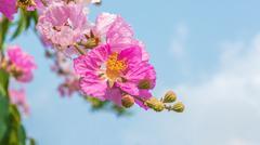 Pink color of Queen's crape myrtle flower - stock photo