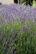 garden with the flourishing lavender in france - stock photo