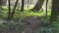 A Trail In The Woods With A Crow Pecking For Food, Nature, Green, Hiking Pan Stock Footage