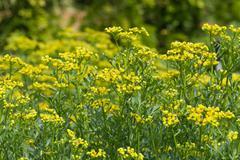Blooming ruta graveolens in garden Stock Photos