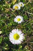 Four daisies - stock photo