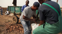 Weighing large bag of cassava Stock Footage