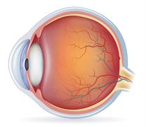 human eye anatomy - stock illustration