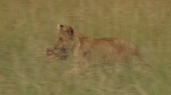 A small lion cub runs away with food Stock Footage